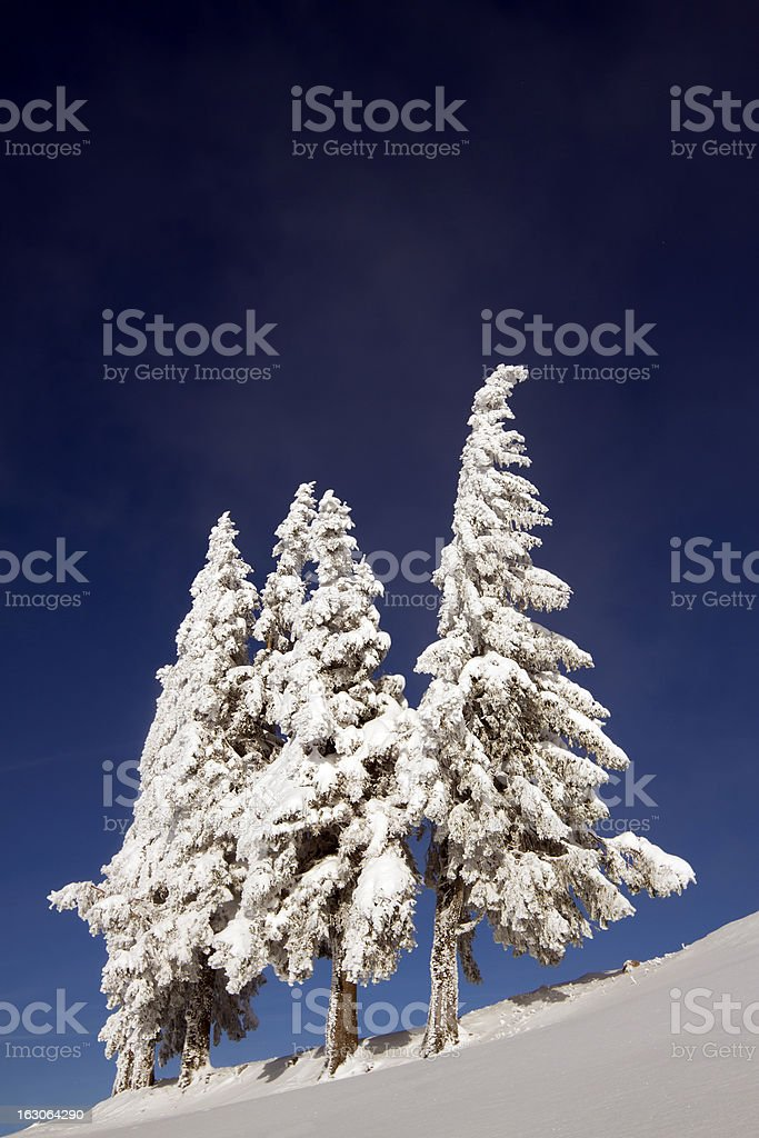 group of snowy fir trees in mountain summit stock photo
