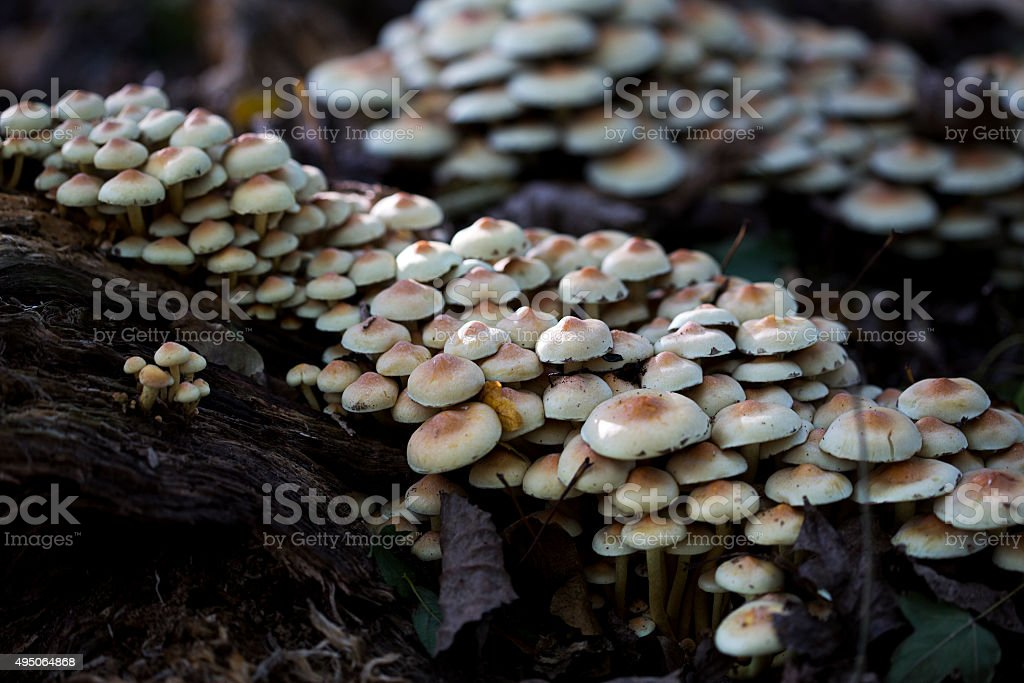 Group of Sulphur Tuft mushrooms stock photo