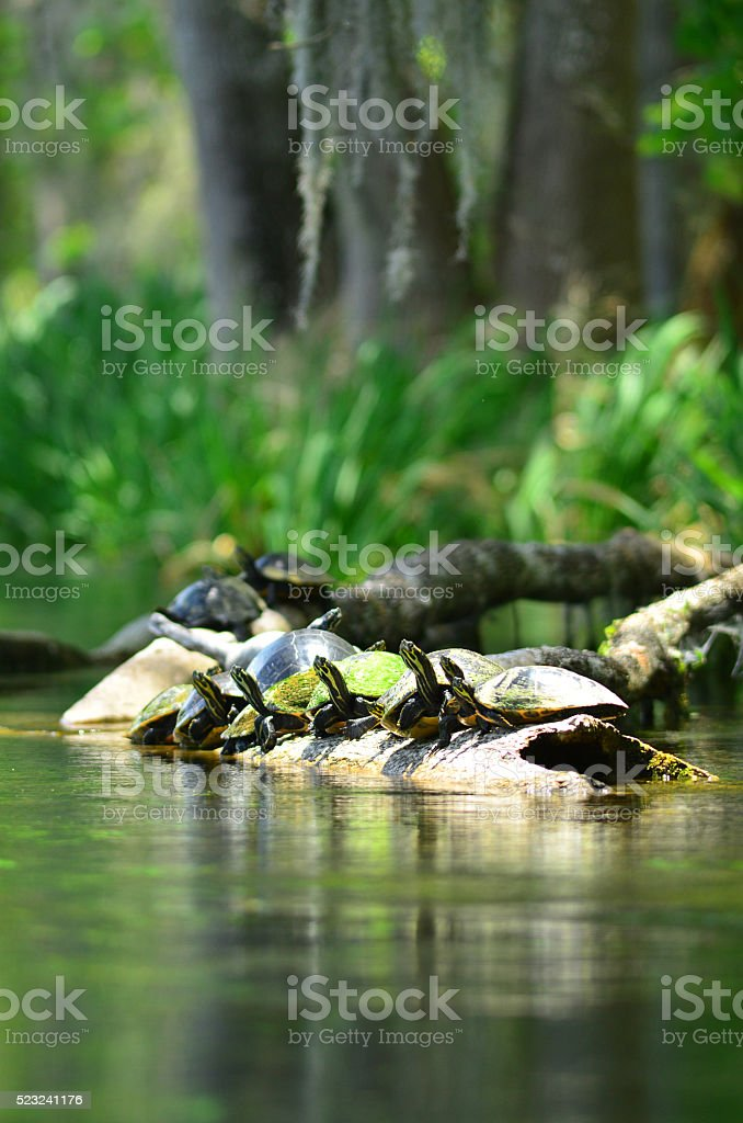 Group of Suwannee Cooter turtles sunning on a floating log stock photo