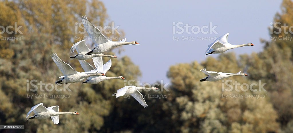 Group of Swans flying stock photo