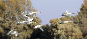 Group of Swans flying