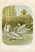 Group of swans on lake illustration 1881