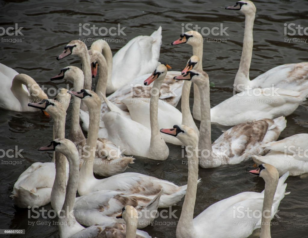 Group of swans on the Avon river.UK stock photo