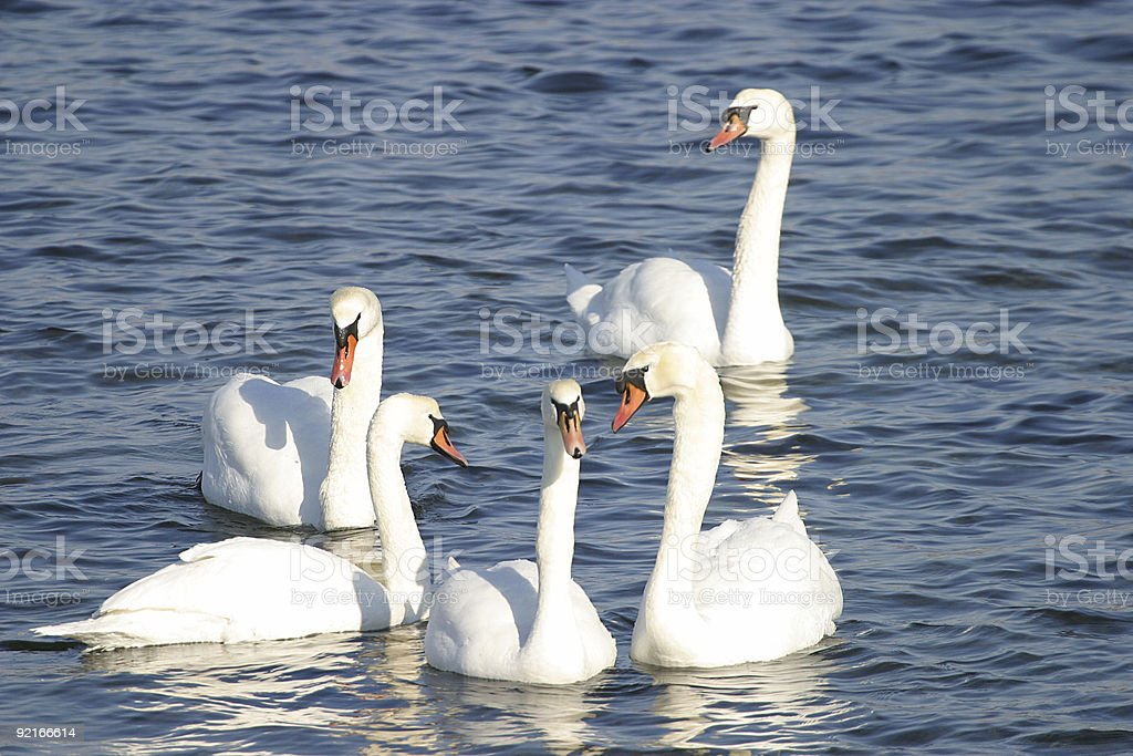 Group of swans royalty-free stock photo