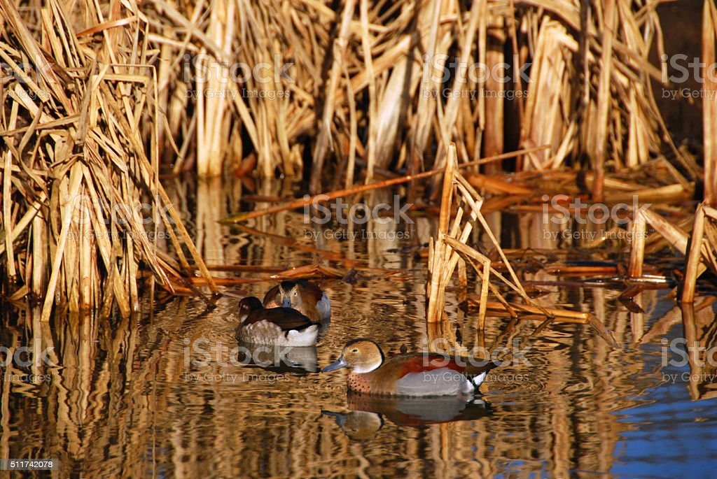 Group of swimming ringed teal ducks. stock photo