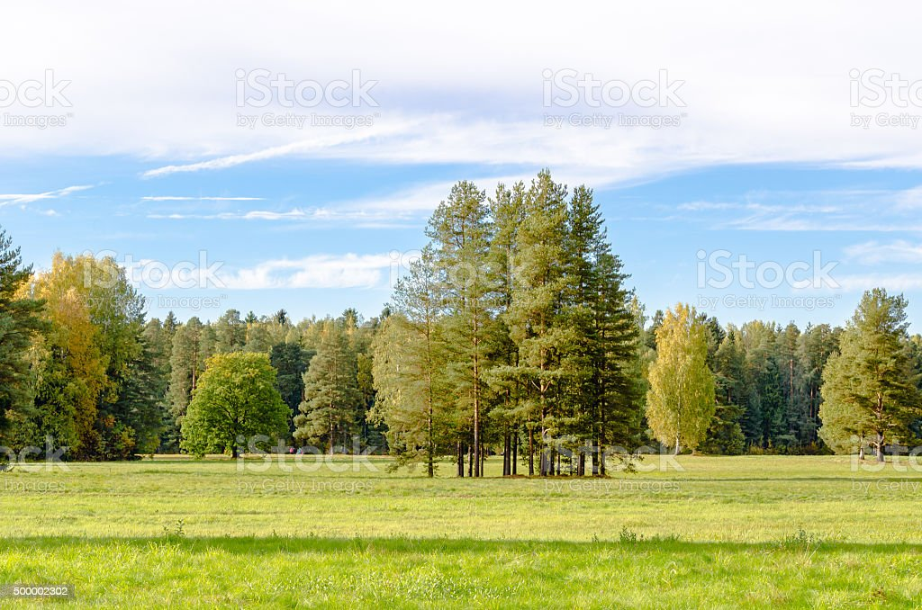 Group of tall pine trees in  early autumn. stock photo