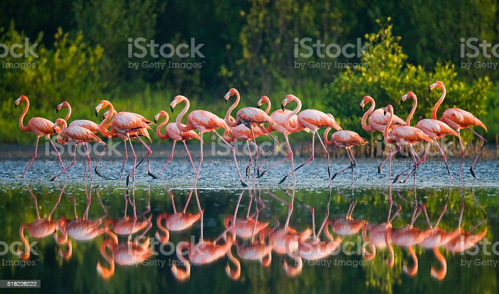 Group of the Caribbean flamingo standing in water with reflection. stock photo
