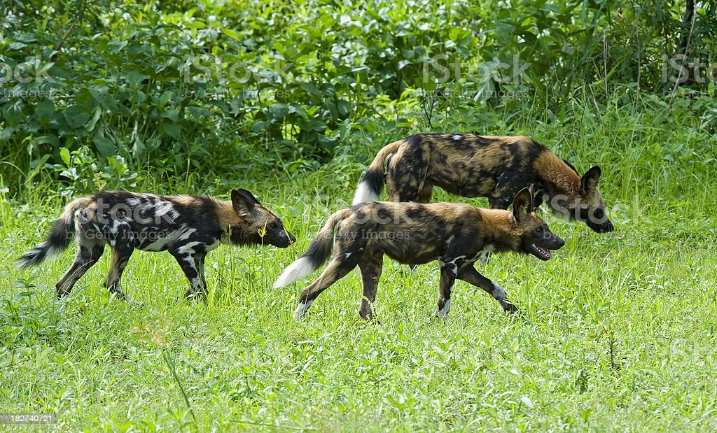 'Group of the very rare African Wild dogs, wildlife shot' stock photo