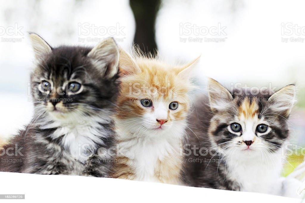 Group of three beautiful cats. stock photo