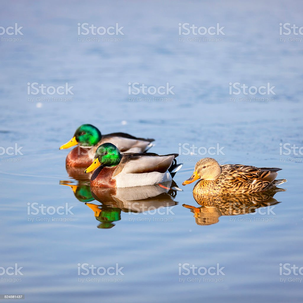 Group of three colorful ducks. Color image stock photo