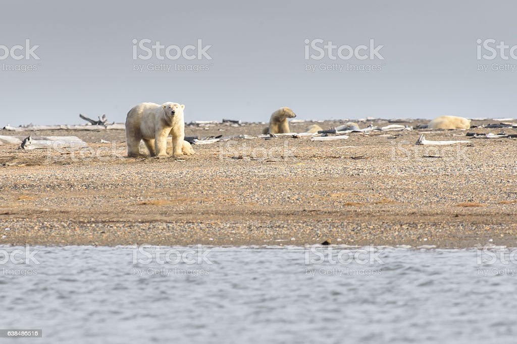 Group of Three Polar Bears on Land in ANWR stock photo
