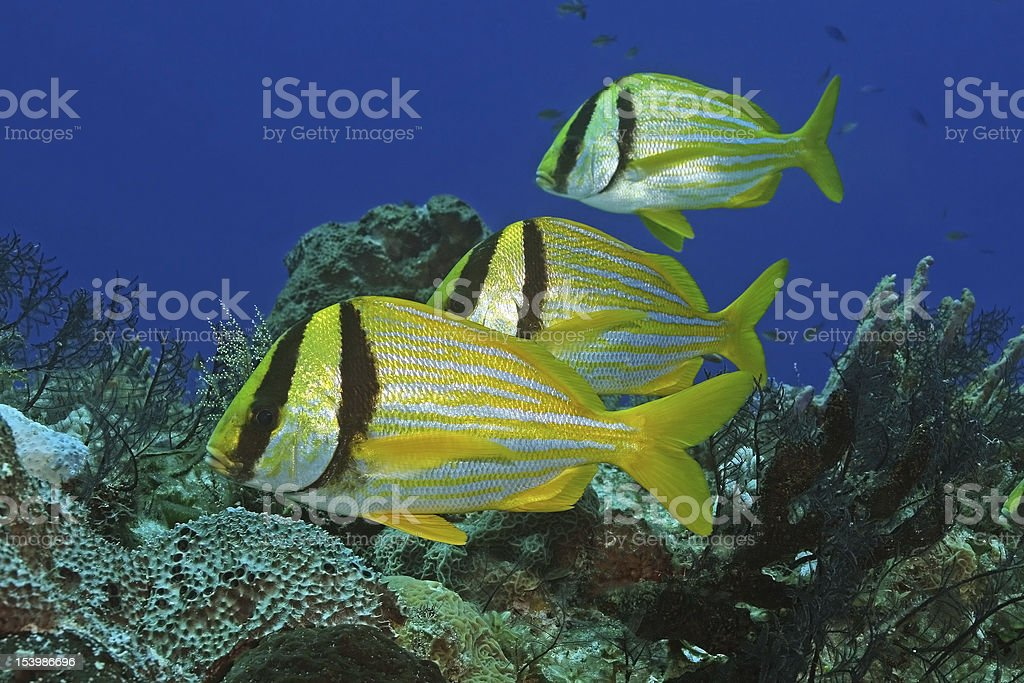 Group of Three Porkfish - Cozumel, Mexico stock photo
