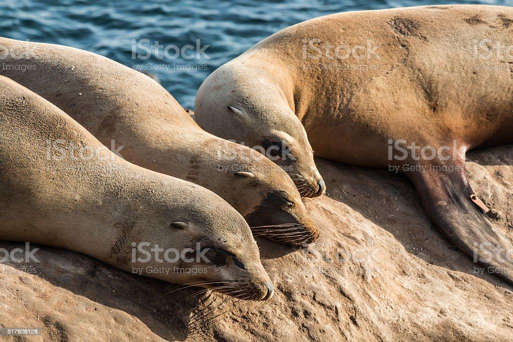 Group of Three Sleeping Seals in La Jolla, California stock photo