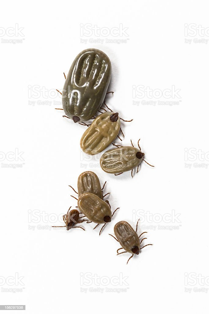 Group of tick isolated on white royalty-free stock photo