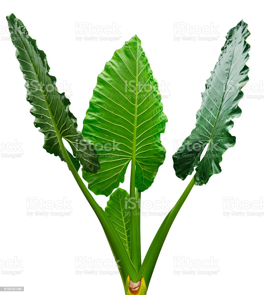 Group of tropical leaves isolated on white with clipping path stock photo