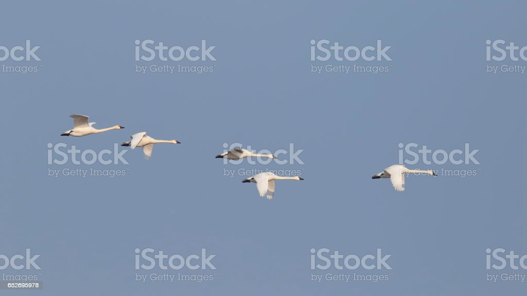 Group of Tundra Swans Migrating in Spring - Ontario, Canada stock photo