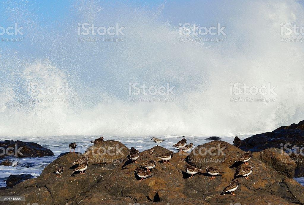 Group of turnstone birds on seashore stock photo