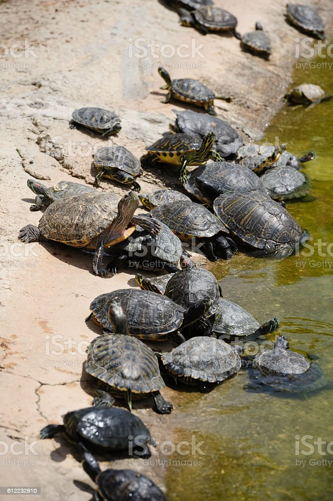 Group of turtles at water edge stock photo