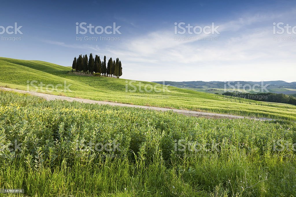 Group of tuscan cypresses royalty-free stock photo