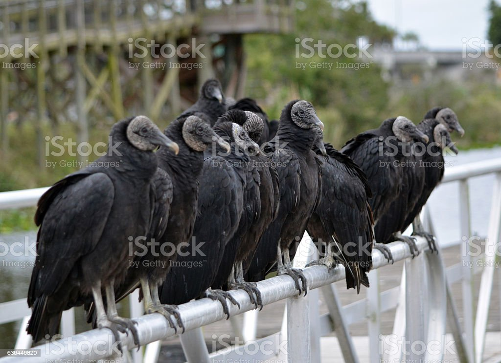 Group of vultures stock photo