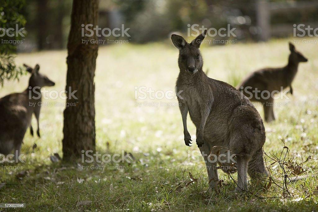 group of wallabies stock photo