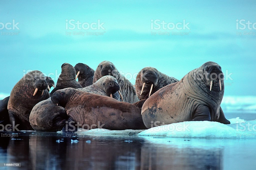 A group of walrus relaxing on the ice near the water stock photo