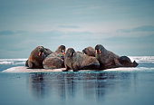 Group of walruses on an iceberg in the Canadian Arctic