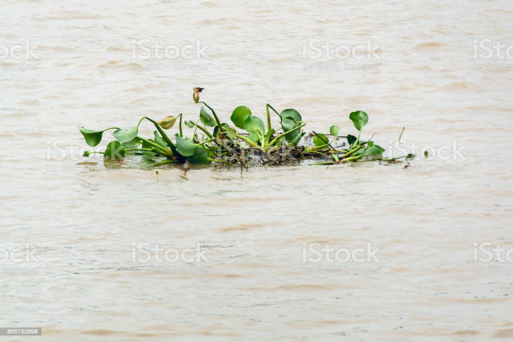 A group of water hyacinth plants in river stock photo