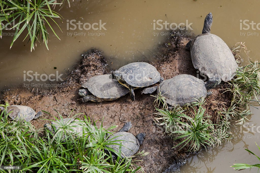 Group of water turtles royalty-free stock photo