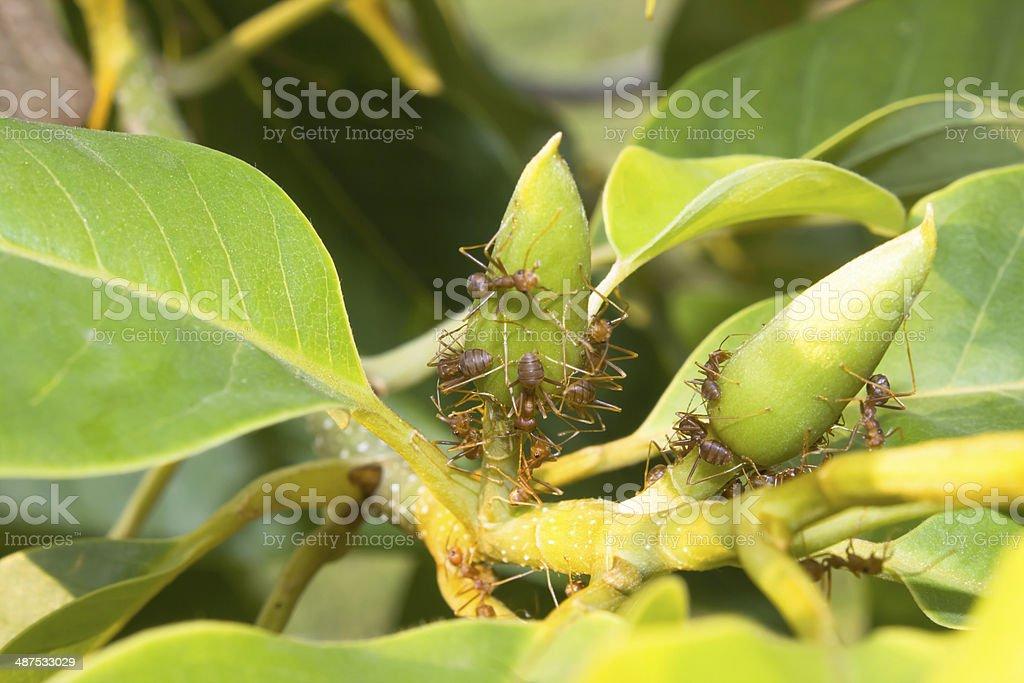 group of weaver ants stock photo
