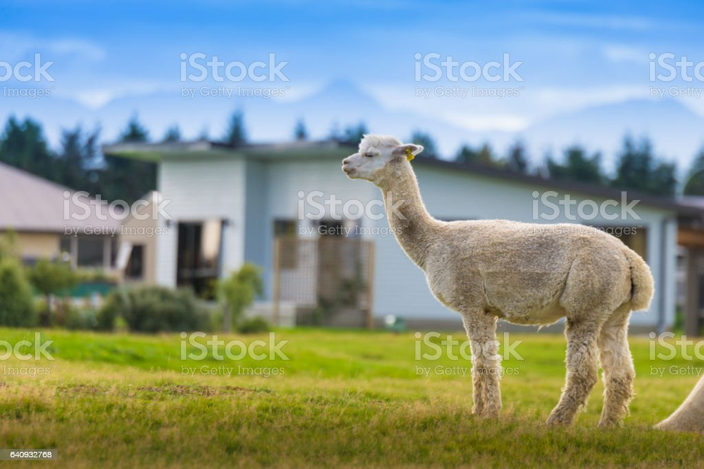 Group of White alpaca in south island New Zealand stock photo