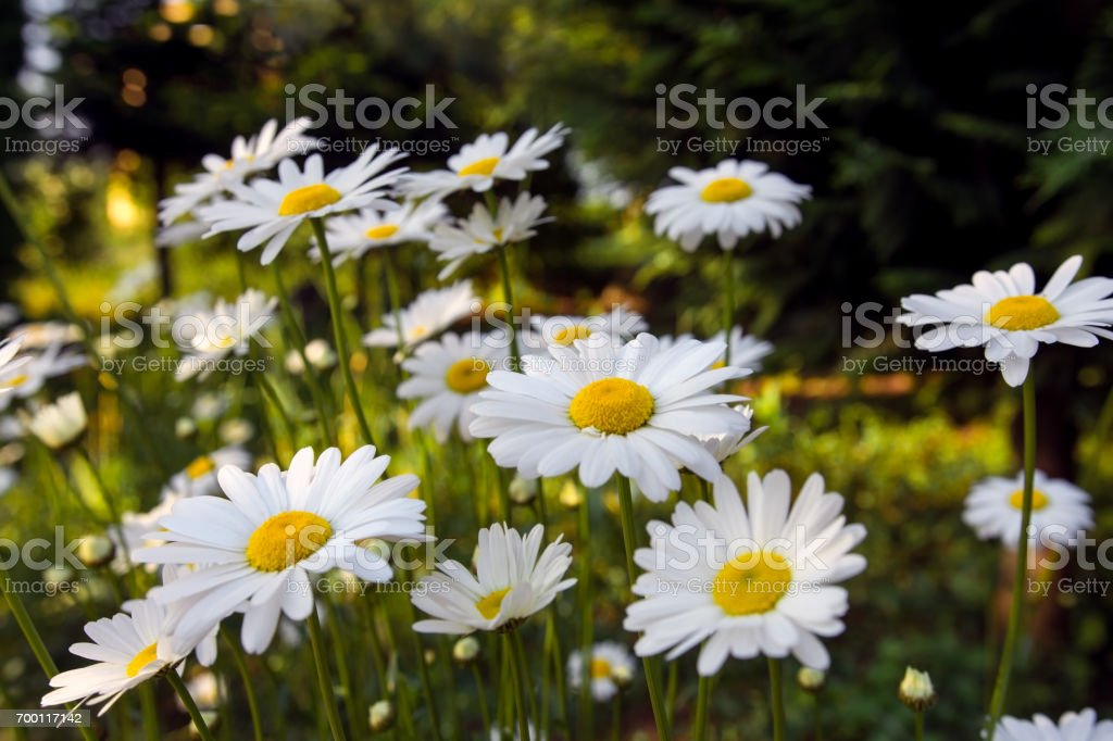 Group of white daisies in the sunbeam stock photo