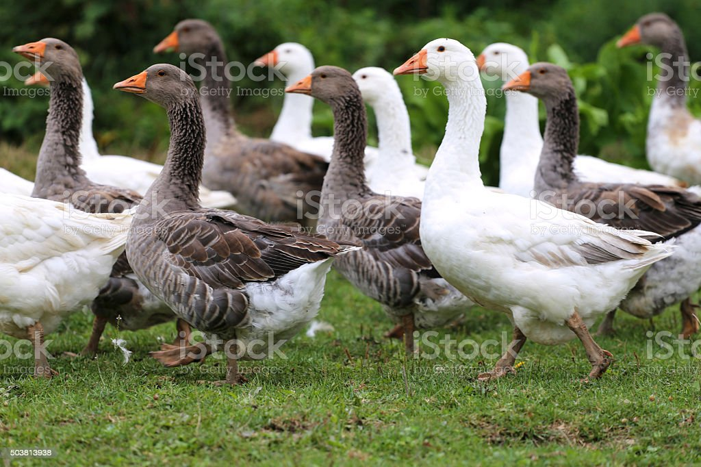 Group of white domestic geese on the poultry farm stock photo