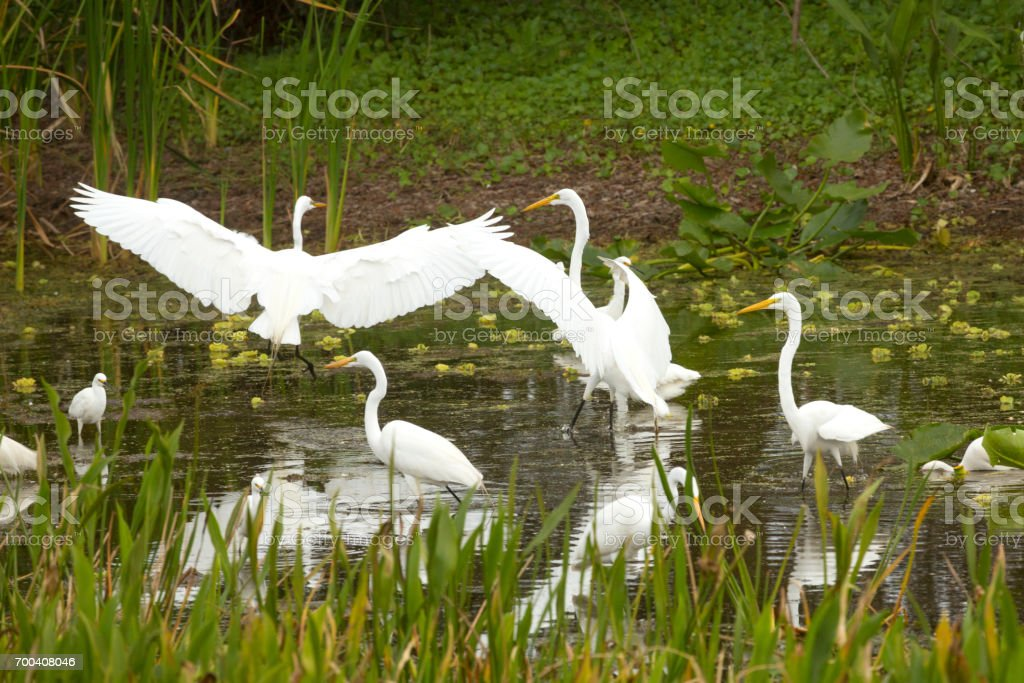Group of white egrets wading in a swamp in Florida. stock photo
