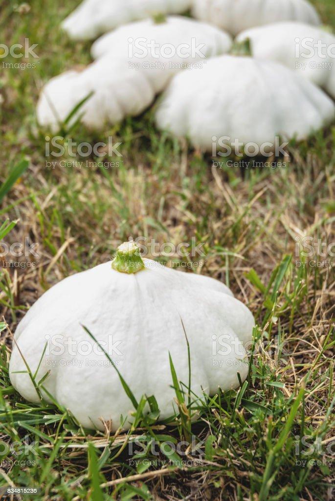 Group of White Patisson Squash on Grass stock photo