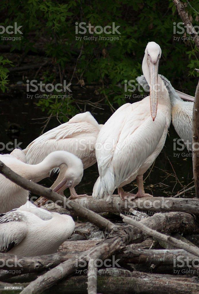 Groupe de spécimens de pélican blanc photo libre de droits