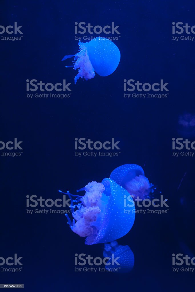Group of White Spotted Jellyfish in Blue Water stock photo