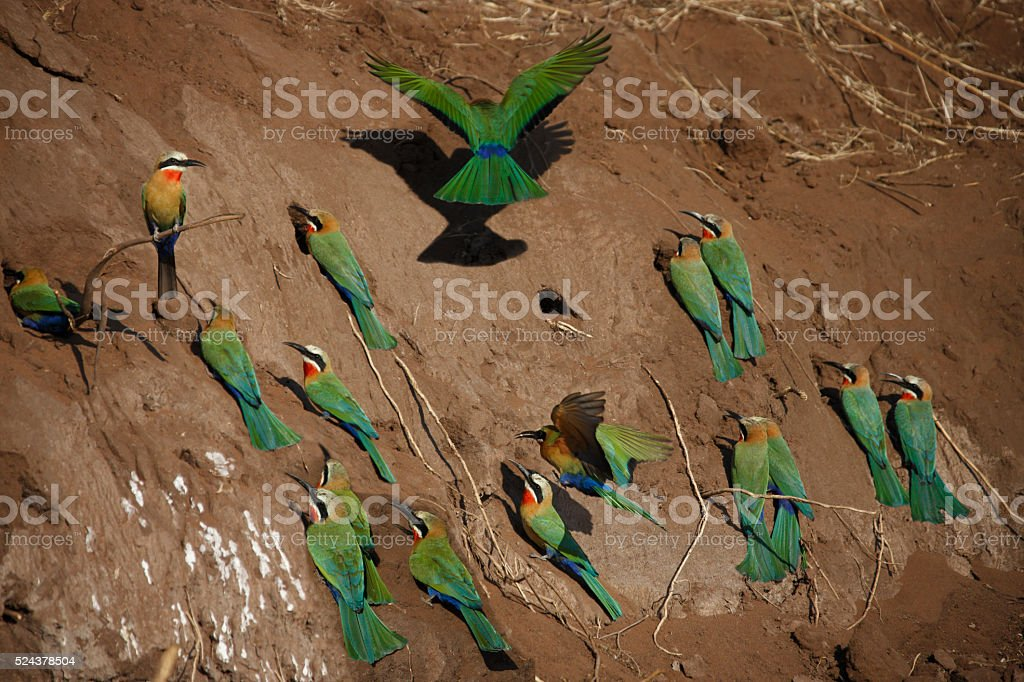 Group of White-fronted Bee-Eaters - Botswana stock photo