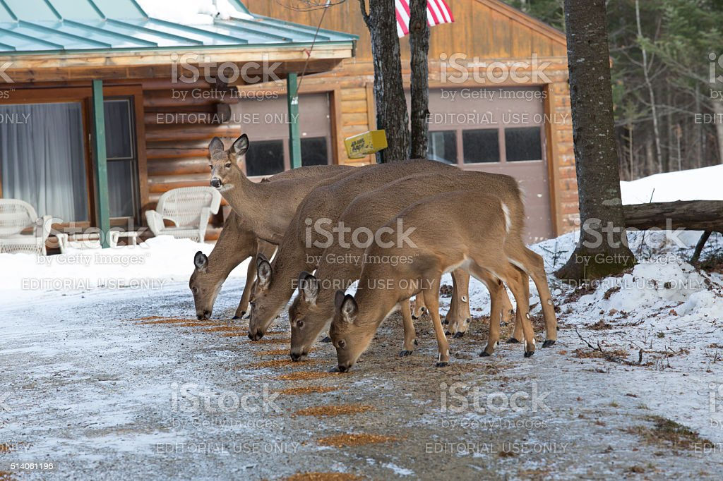 Group of white-tailed deer feeding in yard, Rangelely, Maine. stock photo