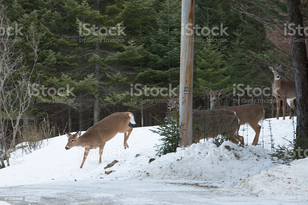 Group of white-tailed deer in private yard, Rangelely, Maine. stock photo