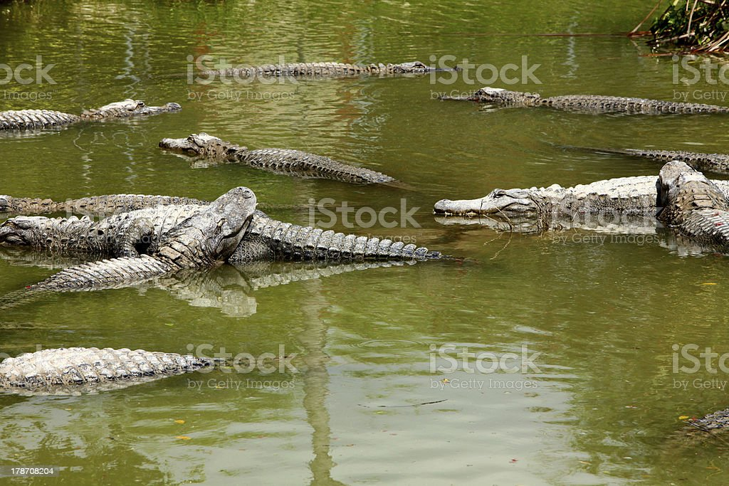 Group of wild crocodiles in Everglades royalty-free stock photo
