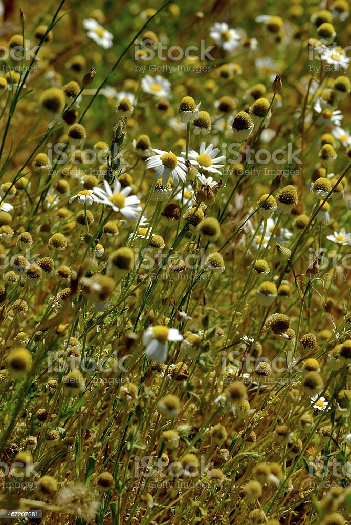 Group of wild daisies. stock photo