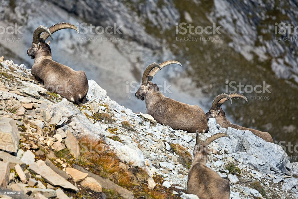 group of wild european ibex stock photo