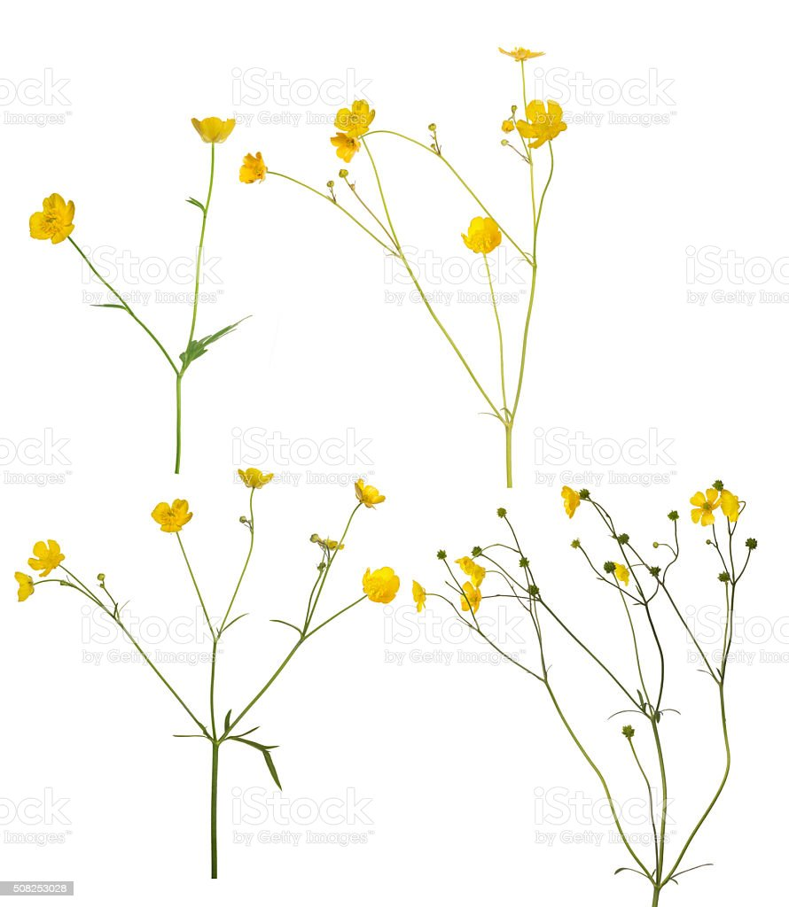 group of wild golden buttercup flowers on white stock photo