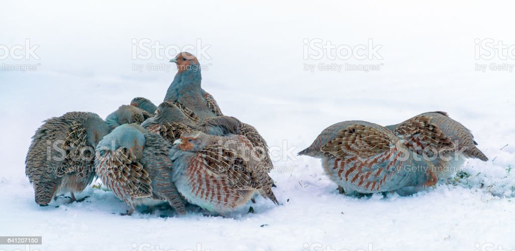 Group of wild grey partridges stock photo