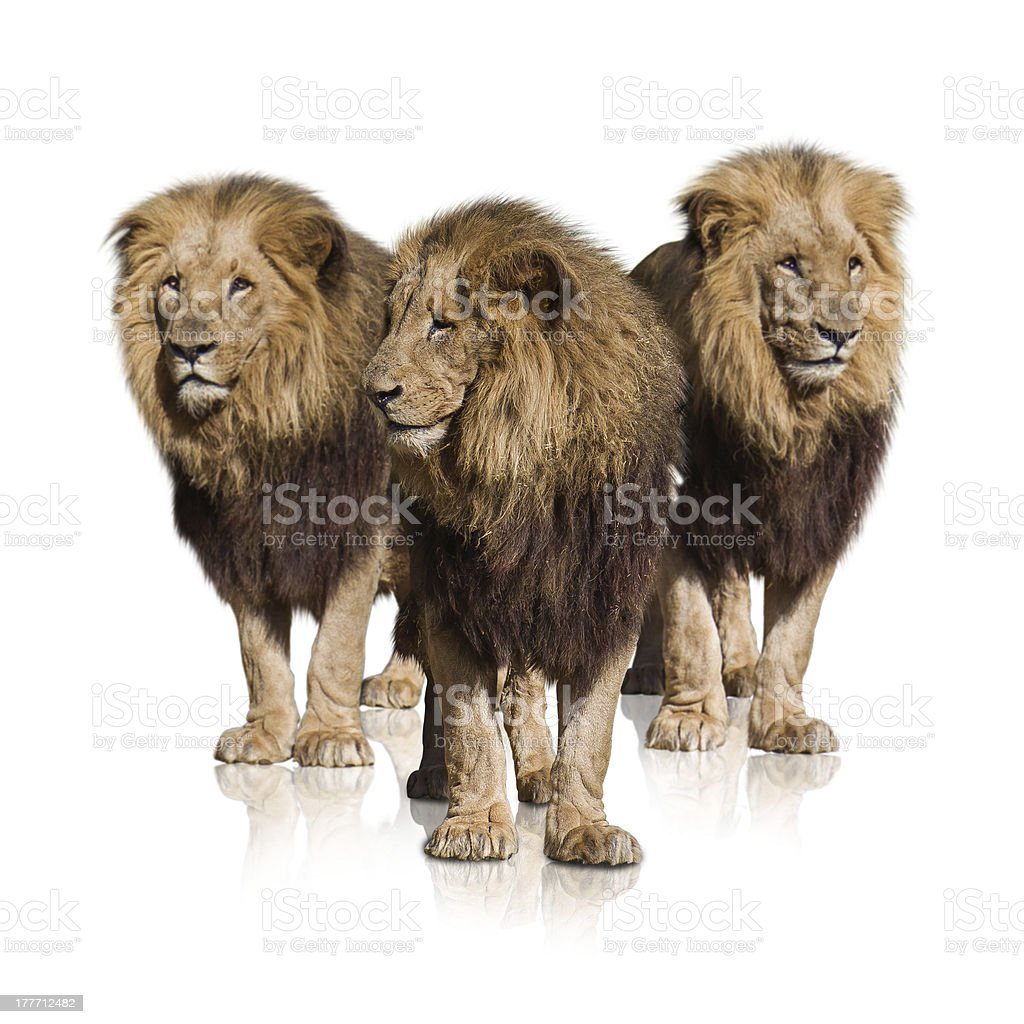 Group Of Wild Lions stock photo