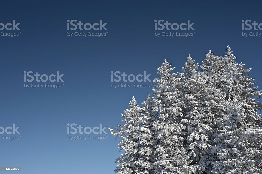 Group of Winter Fir Trees stock photo