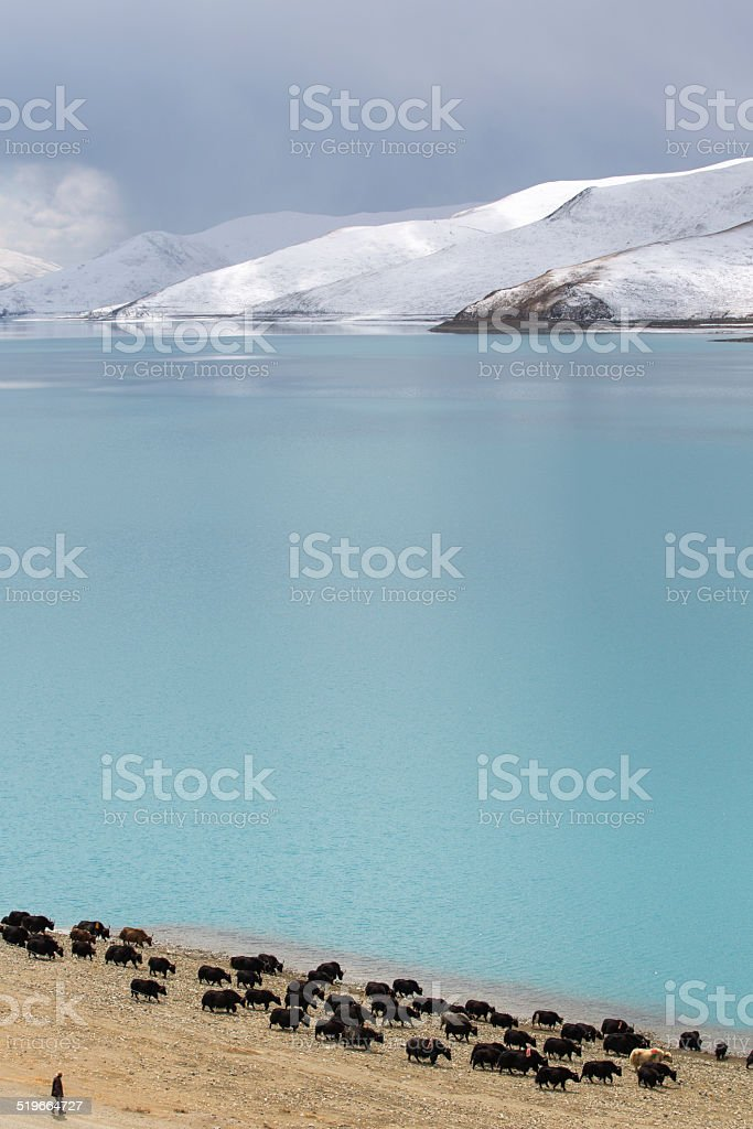 Group of yaks with mountain and lake stock photo