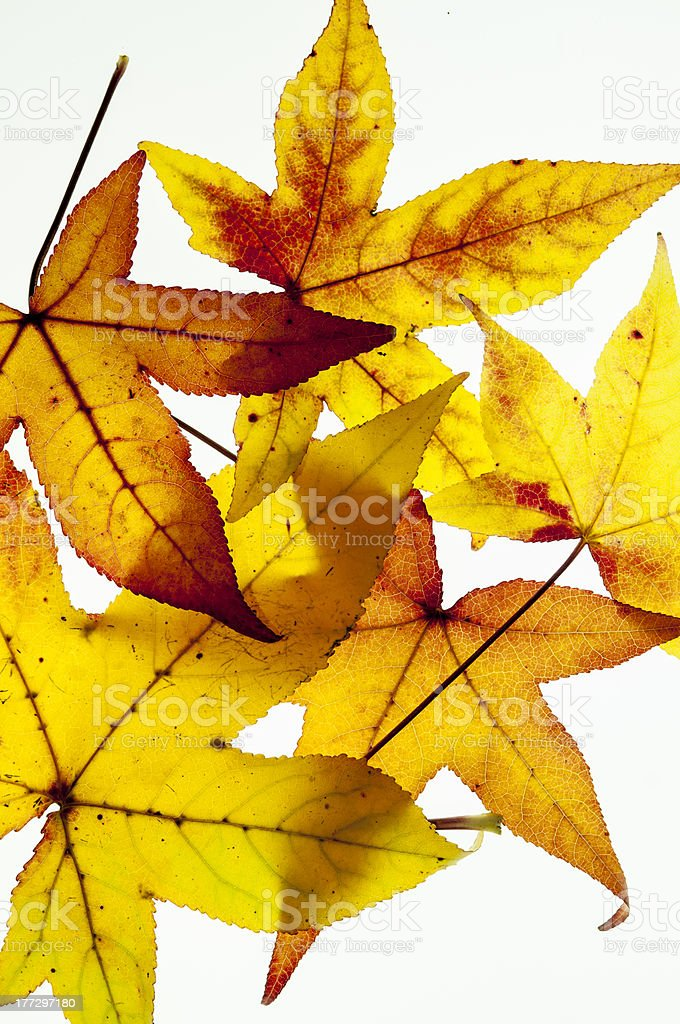Group of yellow and orange autumn leaves on white background royalty-free stock photo