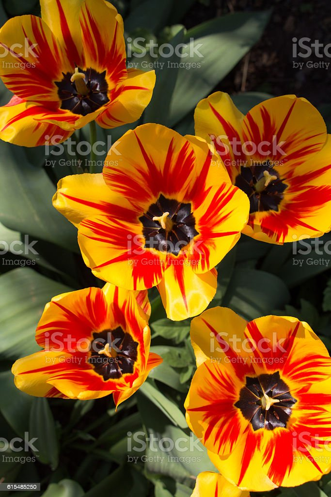 Group of yellow and red flower tulips. Top view stock photo